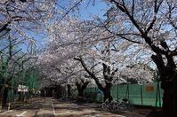 桜4月3日 - 鳥会えず猫生活