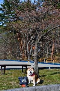 桜が咲いた! - 写心食堂