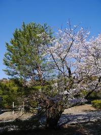 松から育った桜が満開 - ほっとひと息