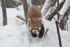 晴れときどき猛吹雪・その2 - レッサーパンダ☆もふてく放浪記