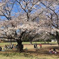 桜の開花状況 in 光ヶ丘^_^v - ~おざなりholiday's^^v~ <フィルムカメラの写真のブログ>