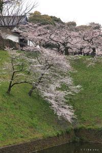 千鳥ヶ淵の桜 - I like you