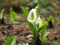 ミズバショウが花盛り - コーヒー党の野鳥と自然 パート2