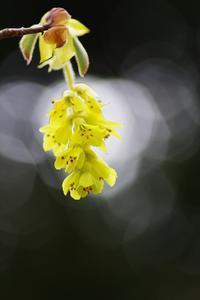 昭和記念公園の黄色い花(樹木) - 自然と仲良くなれたらいいな2
