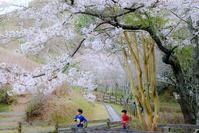 さくら2019 #5子供とさくら - 長い木の橋