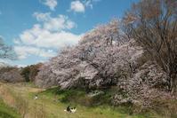 野川の桜その2 - 日本あちこち撮り歩記