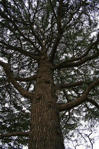 巨樹03_ヒマラヤスギ - デザインスタジオ バオバブのスクラップブック