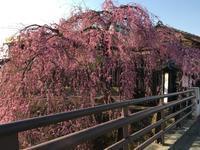 しだれ桜が満開 - はりきゅう・メルモ