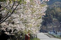 桜ふぶき。 - 青い海と空を追いかけて。