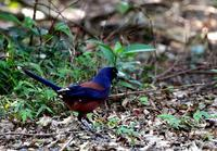 初めての奄美大島遠征(その1)・・・ - 一期一会の野鳥たち