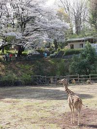 4月7日(日)桜の想い出 - ほのぼの動物写真日記