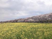 権現堂の桜と菜の花☆ - まなバナ
