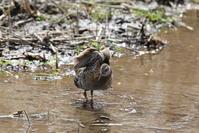 クイナのエンジェルポーズ - 私の鳥撮り散歩