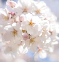 圧倒的桜。平成FINAL - 56歳☆専業主婦やってます