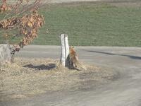 またキツネがやってきた - 北海道・池田町のワインの国からお知らせです