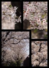 今年の桜事情 - ひとりあそび