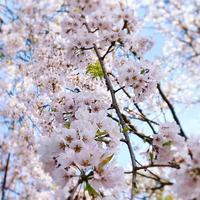 早朝の桜と、可愛い生徒さん♪ - 花雑貨店 Breath Garden *kiko's  diary*