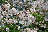 図書館の桜も七分咲き - 気楽おっさんの蓼科偶感