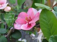 白から赤に変わった木瓜と庭の花 - 風と花を紡いで