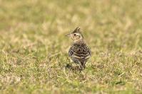 ヒバリ(Eurasian skylark)/2019.04 - Birding  in  Japan!