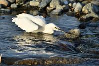コサギ(Little egret)/2019.04 - Birding  in  Japan!