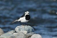 ハクセキレイ(White Wagtail)/2019.04 - Birding  in  Japan!