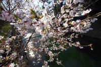 桜を楽しむ - Change The World