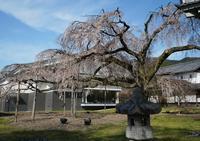花見三昧第3章醍醐寺と祇園白川 - Turfに魅せられて・・・(写真紀行)