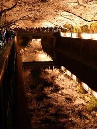 仙川 夜桜 - tokoya3@