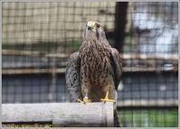 シリーズ野鳥園チョウゲンボウ - 野鳥の素顔 <野鳥と日々の出来事>