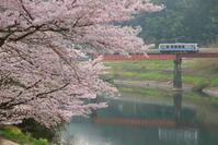 桜満開! - かにさんの横歩き散歩日記