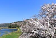 三次の桜 - かにさんの横歩き散歩日記