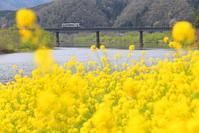黄色い絨毯 - かにさんの横歩き散歩日記