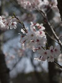 てくてく。。。千里中央公園でお花見♪ - ロビンとルークと有のスローライフ ~episode2~