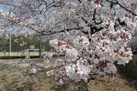 平成最後の桜咲く頃 - 岳の父ちゃんの PhotoBlog