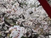 ☆桜満開☆と「アジサイ展」 - 手柄山温室植物園ブログ 『山の上から花だより』