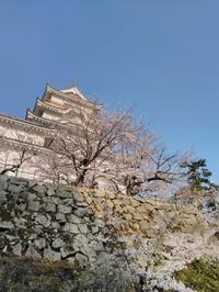 今朝の福山城公園の桜の様子 - 風見鶏日記