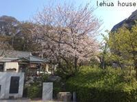 県居神社  朝の桜 !  2019 春 - Hawaiian LomiLomi サロン  華(レフア)邸