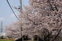 畑仕事、桜そしてまた桜 - デジカメ一眼レフ開眼への道