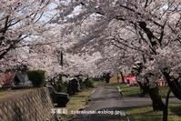 宇治駐屯地の桜まつり - 写楽彩