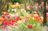 春満開のアンジェ〜①チューリップから - 柳に雪折れなし!Ⅱ