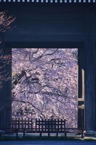 *東郷寺の枝垂れ桜* - 今日もカメラを手に・・・♪