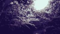 夜桜…明石の釣り@ブログ - 明石の釣り@ブログ
