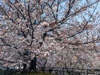 桜の精(岡) - 柚の森の仲間たち