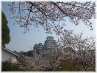 今日しかない・・桜 - 花図鑑