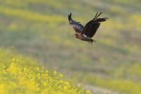 トビ菜の花② - 気まぐれ野鳥写真