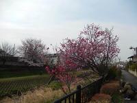 野川の桜と花桃 - 花空間PHOTO