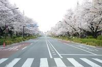 2019 Kunitachi cherry - 風に吹かれて