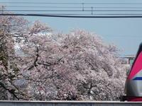 野川写真日記(2019/04/06)ー桜と京王線 - SEのための心理相談室