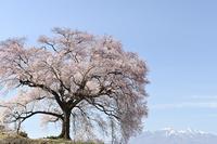 わに塚の桜 - photograph3